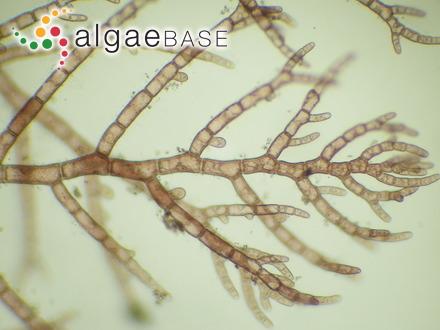 Heterosiphonia obscura (Dickie) Baardseth