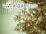 Aglaothamnion gallicum (Nägeli) Halos ex Ardré