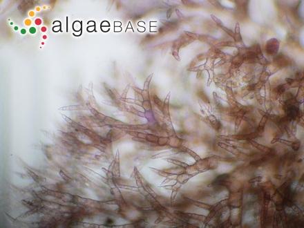 Iridaea splendens (Setchell & N.L.Gardner) Papenfuss