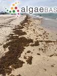 Sargassum fluitans (Børgesen) Børgesen
