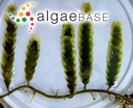 Caulerpa scalpelliformis (R.Brown ex Turner) C.Agardh