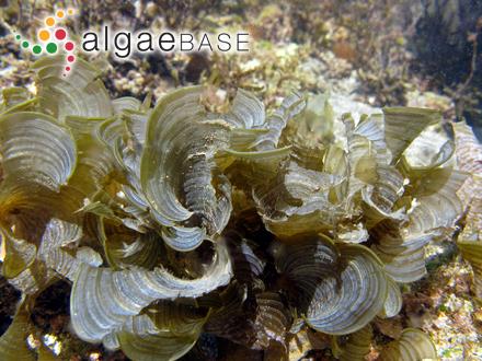 Mallomonas cylindracea Pascher