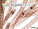 Polysiphonia miniata (C.Agardh) Kützing