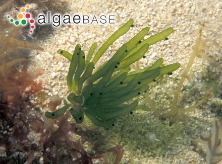 Mallomonas sabulosa Croome & P.A.Tyler