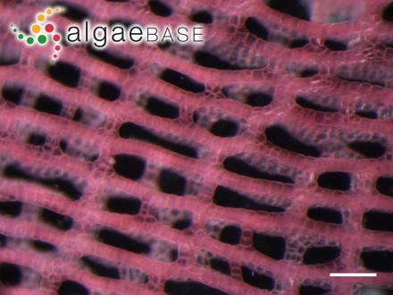 Batrachospermum helminthosum Bory