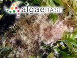 Corallina stellifera Lamarck