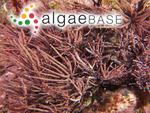 Corallina radiata Lamarck