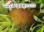 Mychodea pusilla (Harvey) J.Agardh