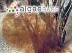 Corynospora australis Harvey