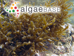 Gracilaria urvillei (Montagne) I.A.Abbott