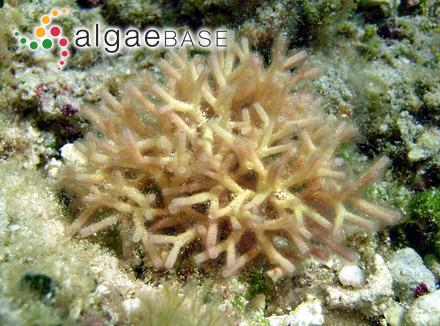 Fischerella laminosa (Hansgirg ex Bornet & Flahault) Castenholz