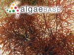 Gracilaria cliftonii Withell, A.J.K.Millar & Kraft