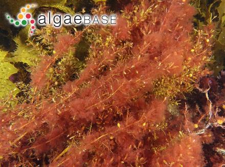 Homoeothrix balearica (Bornet & Flahault ex Forti) Lemmermann