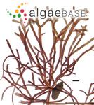Gelidium crinale (Hare ex Turner) Gaillon