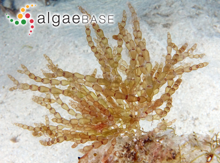Hydrocoleum brebissonii Kützing ex Gomont