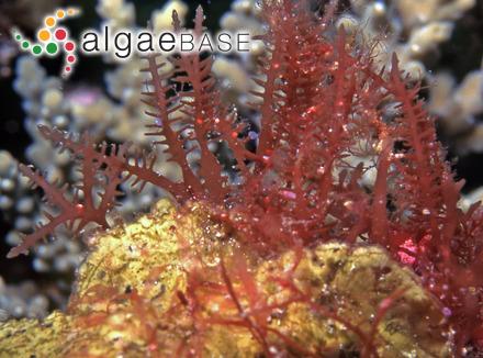 Microchaete calothrichoides Hansgirg