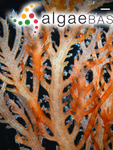 Euptilota articulata (J.Agardh) F.Schmitz