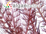 Dasyclonium incisum (J.Agardh) Kylin