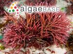 Corallina obtusata J.Ellis & Solander