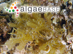 Haliseris australis Sonder
