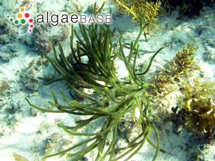 Lemanea fluviatilis (Linnaeus) C.Agardh