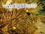 Blossevillea grevillei (C.Agardh ex Sonder) Kützing