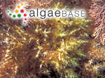Coeloclonium tasmanicum (Harvey) Womersley
