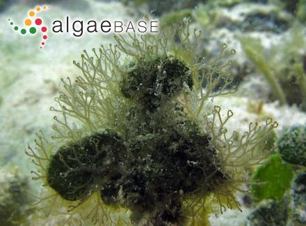 Euglena cuneata E.G.Pringsheim