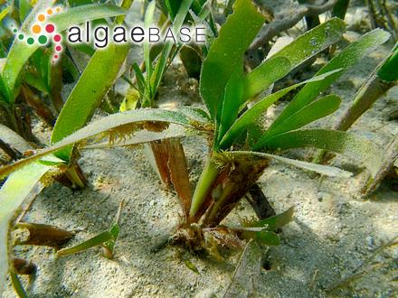 Euglena granulata (G.A.Klebs) F.Schmitz