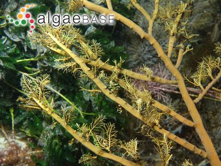 Euglena obtusa Goor
