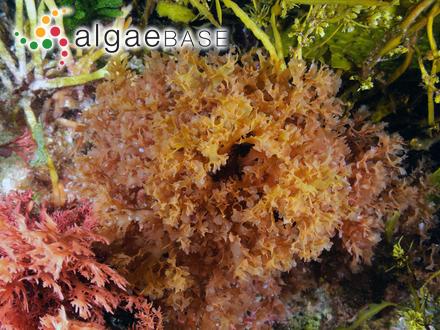 Phacus orbicularis f. communis Popova