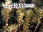 Sargassum uviferum C.Agardh