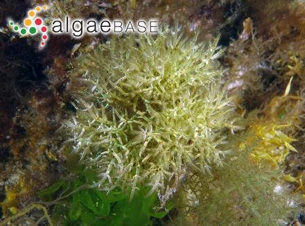 Strombomonas eurystoma (F.Stein) T.G.Popova