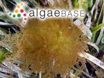 Chylocladia zostericola (Harvey) Kylin