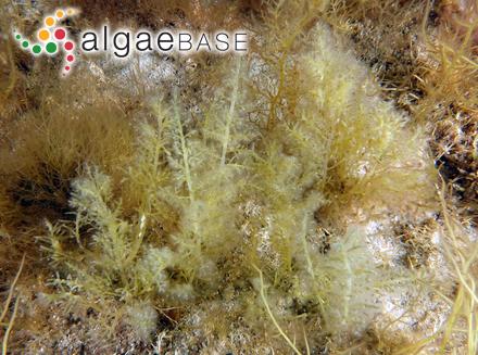 Trachelomonas rugulosa f. steinii Deflandre