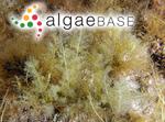 Chondria succulenta (J.Agardh) Falkenberg