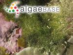 Cladophora herpestica (Montagne) Kützing