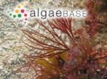 Gelidium scoparium Montagne & Millardet