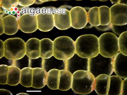 Chroomonas coerulea (Geitler) Skuja