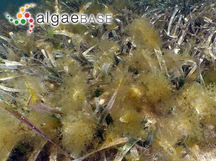Chroomonas rosenbergii Huber-Pestalozzi