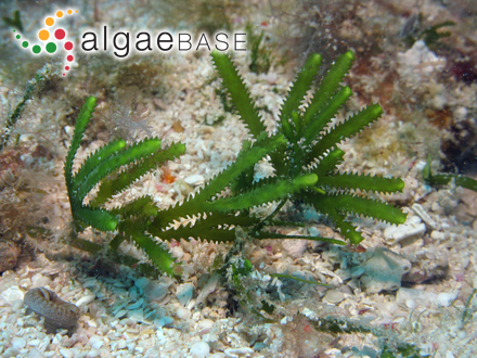 Gloeochrysis turfosa (Pascher) Bourrelly