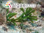 Caulerpa cupressoides var. flabellata Børgesen