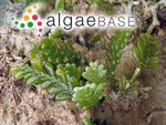 Caulerpa racemosa var. corynephora (Montagne) Weber Bosse