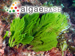 Caulerpa flexilis J.V.Lamouroux ex C.Agardh