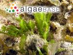Caulerpa taxifolia (M.Vahl) C.Agardh