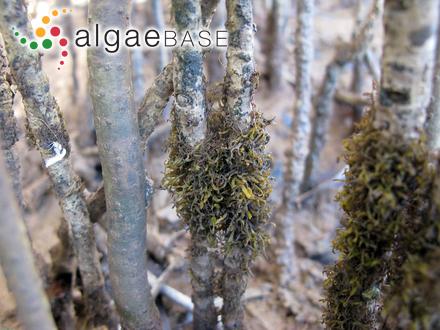 Phaeothamnion confervicola Lagerheim