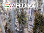 Caloglossa leprieurii (Montagne) G.Martens