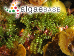 Caulerpa sedoides C.Agardh