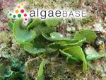 Halimeda macrophysa Askenasy