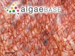 Haloplegma preissii (Harvey) Montagne